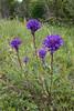 Campanula glomerata, Ängstoppklocka, Campanulaceae, Klockväxter