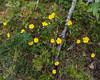 Heleanthemum nummularium, Solvända, Cistaceae, Solvändeväxter