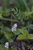 Maianthemum bifolium, Ekorrbär, Convallariaceae, Konvaljväxter , Asparagaceae, Sparrisväxter