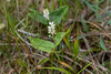 Maianthemum bifolium, Convallariaceae, Konvaljväxter , Asparagaceae, Sparrisväxter