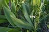 Convallaria majalis, Liljekonvalj, Convallariaceae, Konvaljväxter , Asparagaceae, Sparrisväxter