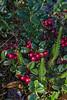 Vaccinium vitis-idaea, Lingon, Ericaceae, Ljungväxter