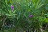 Lathyrus linifolius, Gökärt, Fabaceae, Ärtväxter