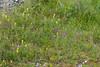 Anacamptis pyramidalis, Salpsrot, Orchidaceae, Orkidéer