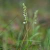 Goodyera repens, Knärot, Orchidaceae, Orkideer
