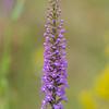 Gymnadenia conopsea ssp. densiflora , Praktsporre, Orchidaceae, Orkideer