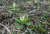 Primula veris, Gullviva Primulaceae, Viveväxter