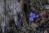 Hepatica nobilis, Blåsippa, Ranunculaceae, Ranunkelväxter