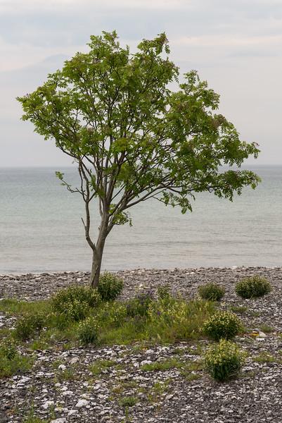 Sorbus aucuparia, Rönn, Rosaceae, Rosväxter