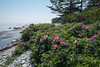 Rosa rugosa, Vresros, Rosaceae, Rosväxter