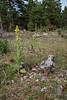 Verbascum thapsus, Kungsljus, Scrophulariaceae, Lejongapsväxter
