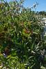 Solanum dulcamara, Besksöta, Solanaceae, Potatisväxter
