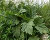 Datura stramonium, Spikklubba, Solanaceae, Potatisväxter