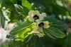 Hyoscuyamus niger, Bollmört, Solanaceae, Potatisväxter