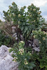 Hyoscyamus niger, Bolmört, Solanaceae, Potatisväxter