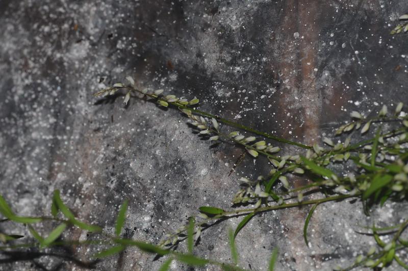 SAJ0035 Polygala paniculata
