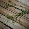 SAJ1073 Polygala paniculata