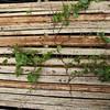SAJ0724 Muehlenbeckia monticola