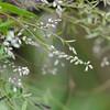 Conn5357 Polygala paniculata