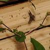 SAJ0541 Polygonum chinense