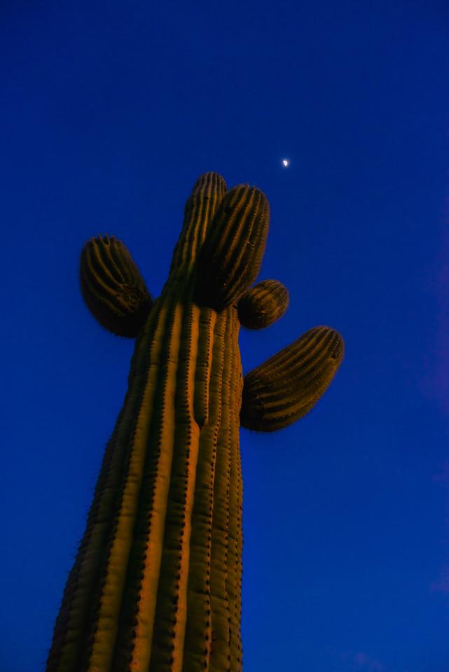 Solo Saguaro at Sunset