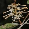 Conn5452 Helicia cf. hypoglauca