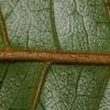 SAJ1053 Helicia amplifolia