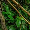 Puerto Rico February 2016 El Yunque Bamboo 1