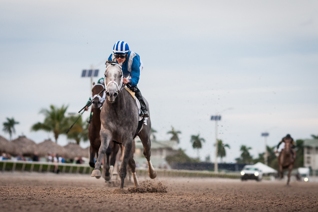 Mohaymen (Tapit) wins The Holy Bull (G2) at Gulfstream Park on 1.30.2016. Junior Alvarado up, Kiaran McLaughlin trainer, Shadwell Farm owner.