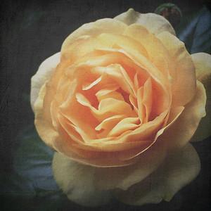 Roses 042115-0637