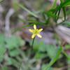 Conn5368 Ranunculus basilobatus