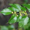 SAJ0092 Colubrina asiatica