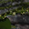 SAJ0033 Gouania leptostachya