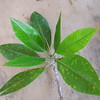 SAJ0948 Rhizophora apiculata