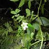 SAJ0537 Rubus