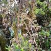 SAJ1300 Rubus diclinis