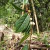 SAJ0367 Prunus