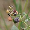 Conn5360 Rubus niveus
