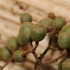 SAJ0371 Carpodetus arboreus