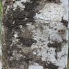 Conn5391 Carpodetus arboreus