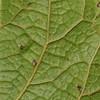 SAJ0421 Carpodetus arboreus