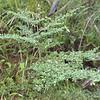 2010-015 Amaracarpus nematopodus