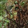 2010-003 Oldenlandia herbacea