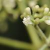 Conn5492 Psychotria chrysantha