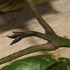SAJ0326 Melicope pachypoda