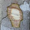Conn5401 Melicope rubra