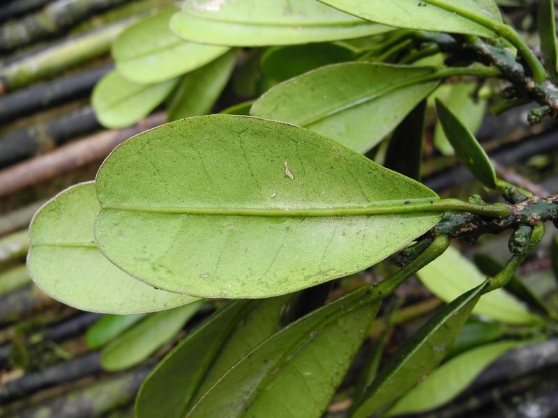 SAJ0661 Melicope polyadenia