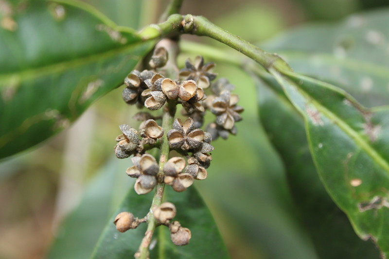Conn5453 Melicope durifolia