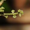 SAJ0494 Melicope mucronata