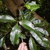 SAJ0459 Acronychia trifoliata var. microcarpa